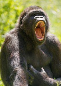 Gorila, ki zeha. Vir: Flickr