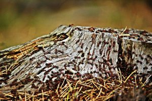 Mravlje živijo in delajo v kolonijah. Vir: Pixabay