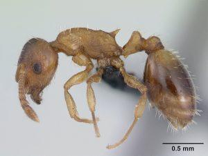 Opazovali so mravlje Temnothorax nylanderi, pogosto najdene v Evropskih gozdovih. Vir: Wikimedia Commons