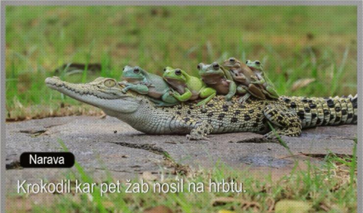 Ali krokodili res nosijo žabe na hrbtu? Vir: Posnetek zaslona