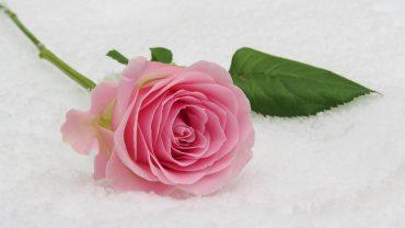Vrtnica, rožnata, v spomin