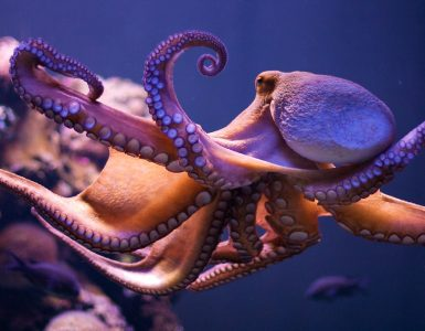 Hobotnice lahko čutijo bolečino in užitek. Vir: Flickr