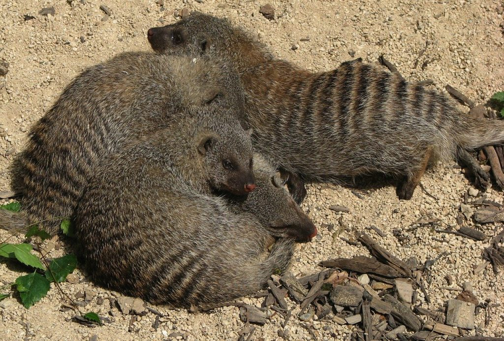 Niso agresivne živali, redko se prepirajo za prehrano. Vir: Pixabay