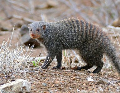 Progaste manguste zrastejo v dolžino 30–45cm, tehtajo pa do 2,5kg. Vir: Wikimedia Commons