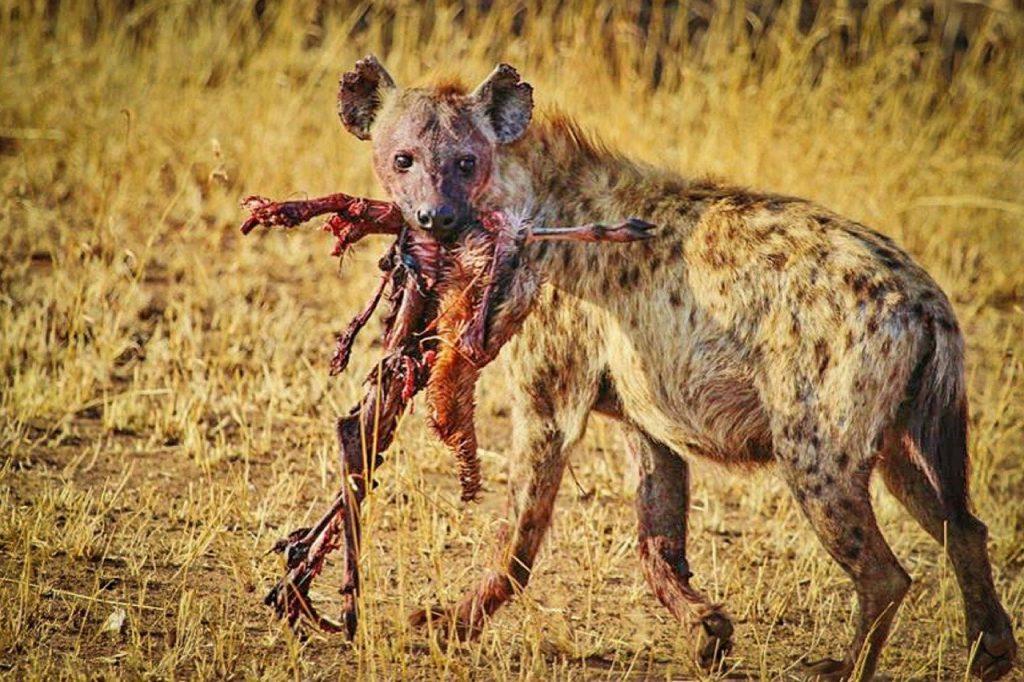 Hijene so zelo prilagodljive živali, saj so lahko plenilke ali mrhovinarke. Vir: Pixabay