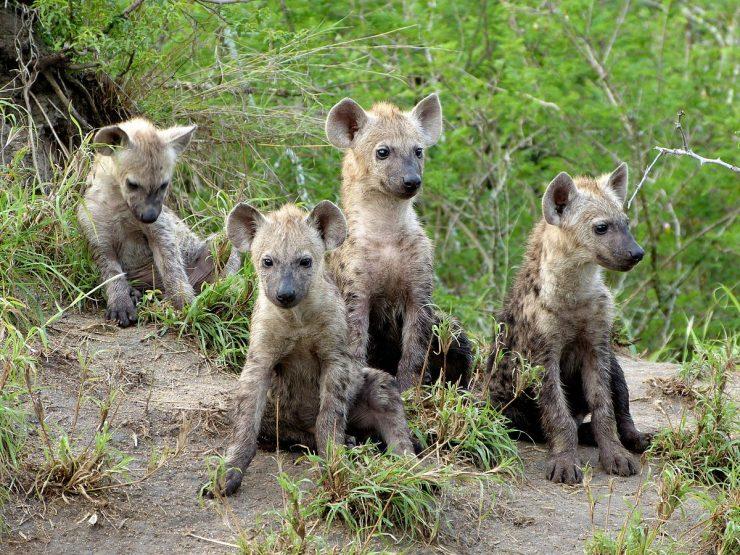 Mladiči hijen postanejo lovci po prvem letu starosti. Vir: Wikimedia Commons