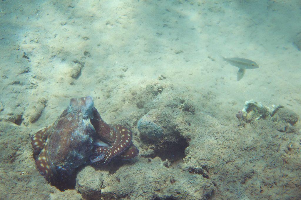 e kakšna riba prekriža pot hobotnici na lovu, se ji slabo piše. Vir: Wikimedia Commons