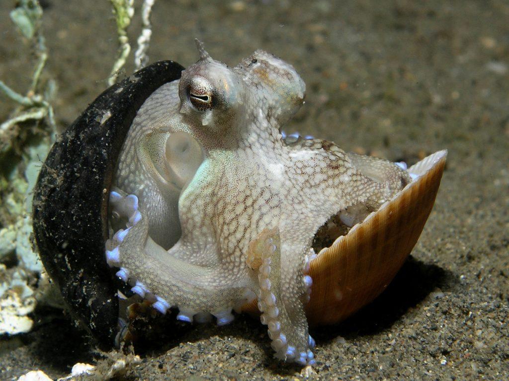 Zmožnost metanja predmetov v druge hobotnice kaže na zelo visoko inteligenco hobotnic. Vir: Wikimedia Commons